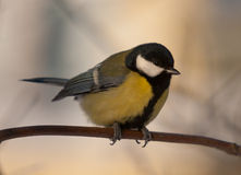 Portrait of a titmouse Royalty Free Stock Photography