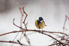 Portrait of titmouse on branch winter tree Royalty Free Stock Photos