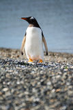 Portrait to Papua penguin on the gravel on the seashore Royalty Free Stock Photos