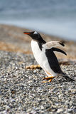 Portrait to Papua penguin on the gravel Royalty Free Stock Photography