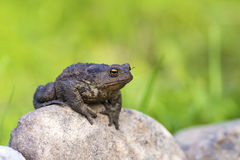Portrait of a toad. Great quality close up portrait of a toad sitting on the rock. Pimply skin, harsh unabashed look, bright expressive yellow eyes, muscle body Stock Image