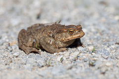Portrait of a toad in spring Royalty Free Stock Photography