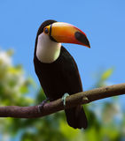 Portrait of Toco Toucan Stock Image