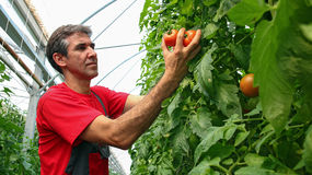 Portrait of Tomato Grower in Polytunnel royalty free stock photo