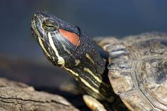 Portrait of tortoise. Close-up portrait of tortoise on a dark background Royalty Free Stock Images
