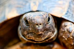 Portrait of tortoise. Close up Royalty Free Stock Photography