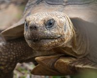 Tortoise face close up. Portrait of tortoise with focus on it`s head Stock Photography
