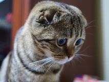 Portrait of a tortoiseshell cat. Portrait of beautiful tortoiseshell scottish fold cat looking down with sad face expression royalty free stock images