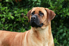 Portrait of tosa inu bandog against green natural background Stock Photo