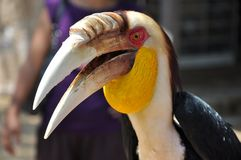 Portrait of a Toucan and its big beak. Bali, Indonesia Stock Photos