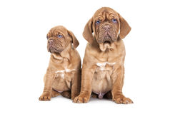 Portrait of tow French Mastiff pups Royalty Free Stock Images