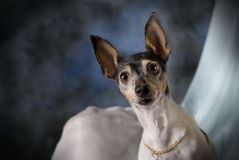 Portrait of a Toy Fox Terrier on Blue Stock Photos