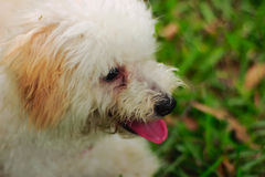 A portrait of a toy poodle dog Royalty Free Stock Images