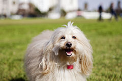 Toy Poodle Dog Portrait in the Park Stock Photos