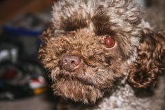 Portrait of a toy poodle laying on the floor stock image