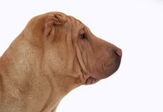 Portrait about a traditionail sharpei Stock Photography