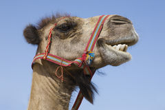Portrait of a traditional transport camel Royalty Free Stock Photos