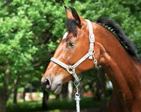 Portrait of trakehner bay horse. Portrait of beautiful bay horse outdoor sunny  day Stock Photos