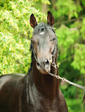 Portrait of trakehner black stallion Stock Images
