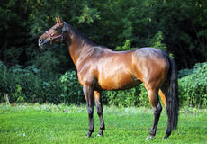 Portrait trakehner horse in summer evening. Portrait of nice sorrel horse walking on evening woods Stock Image