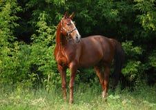Portrait trakehner horse in summer evening. Portrait of nice sorrel horse walking on evening woods Stock Photo