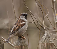 Portrait of tree sparrow standing on a wooden fence Royalty Free Stock Image