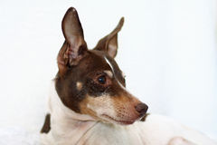 Portrait of tri-color rat terrier Stock Photography