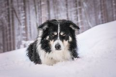 Portrait of tricolor border collie who is liying in the snow royalty free stock photo