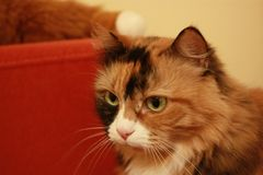 Portrait of tricolor cat royalty free stock photos