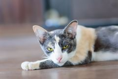 Portrait of tricolor cat looking the camera. Cute animal and pet Royalty Free Stock Photography