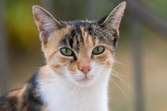 Portrait of a tricolor cat royalty free stock photography
