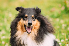 Portrait Of Tricolor Rough  Scottish Collie, Long-Haired Collie. Close Portrait Of Funny Staring Tricolor Rough Collie, Scottish Collie, Long-Haired Collie Stock Images