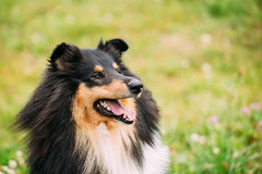Portrait Of Tricolor Rough  Scottish Collie, Long-Haired Collie. The Close Portrait Of Staring Tricolor Rough Collie, Scottish Collie, Long-Haired Collie Royalty Free Stock Image