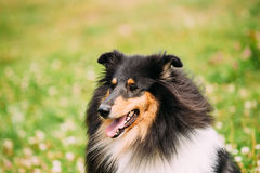 Portrait Of Tricolor Rough  Scottish Collie, Long-Haired Collie. The Close Portrait Of Staring Tricolor Rough Collie, Scottish Collie, Long-Haired Collie Stock Photos