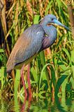 Portrait of a Tricolored Egret Stock Photos