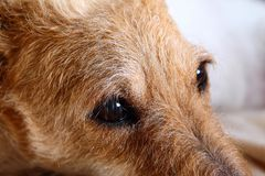 Portrait triste de chien - mélange de terrier de Fox Images libres de droits