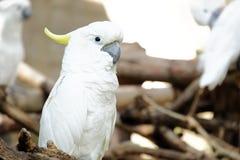 Portrait of Triton cockatoo Stock Photography
