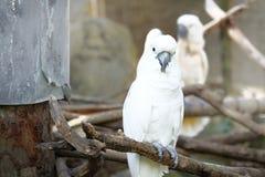 Portrait of Triton cockatoo Stock Images
