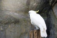 Portrait of Triton cockatoo Stock Photo