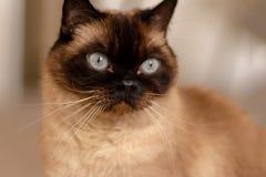 Portrait ?troit du chat siamois observ? par bleu se reposant sur le plancher photo libre de droits