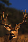 Portrait of a Trophy Mule Deer Buck. A close up portrait  of a big nontypical mule deer buck Stock Photos
