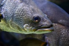 Portrait of Tropical Fish Stock Photography