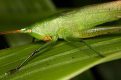 Portrait of a tropical green grasshopper. Royalty Free Stock Photos
