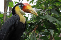 Portrait of a tropical Hornbill bird Royalty Free Stock Photography