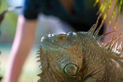 Portrait of tropical iguana Royalty Free Stock Photos