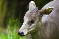 Portrait of tufted deer female stock photography
