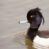 Portrait of the Tufted Duck. The close-up of this male Tufted Duck (Aythya fuligula) shows a very spectacular and interesting bird Stock Images