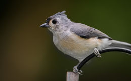 Portrait of Tufted Titmouse Royalty Free Stock Images