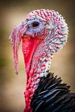 Gobbler Stock Images