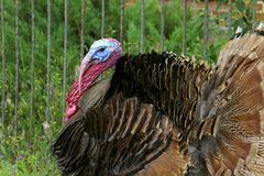 Portrait of a turkey male or gobbler. Turkey male or gobbler closeup on a green grass background. Shot of a Turkey or Gobbler on a farm. Farm Background Royalty Free Stock Image